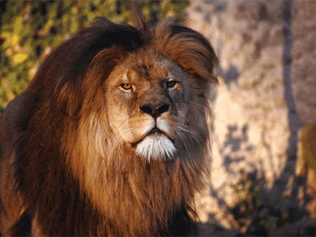 Face à un lion dans Autres felins lion_036