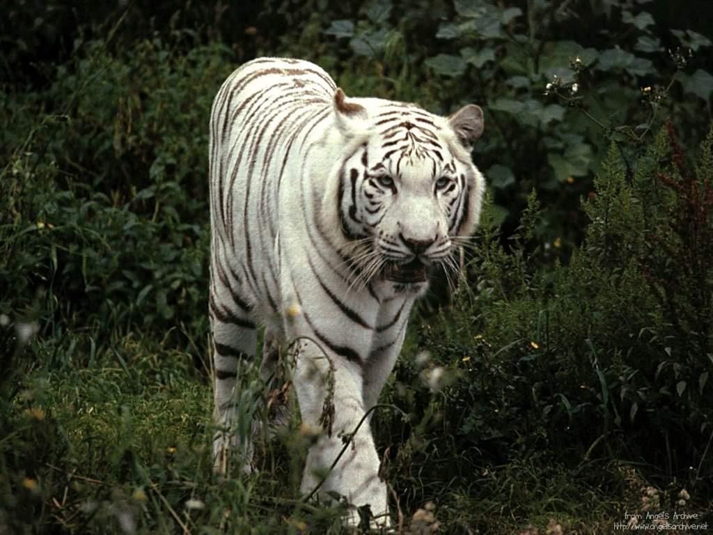Tigre blanc dans Autres felins tigre_005